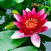 Lotuswasser