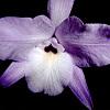 Orchideen Extrakt