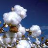 Extrakt der Arabischen Baumwolle